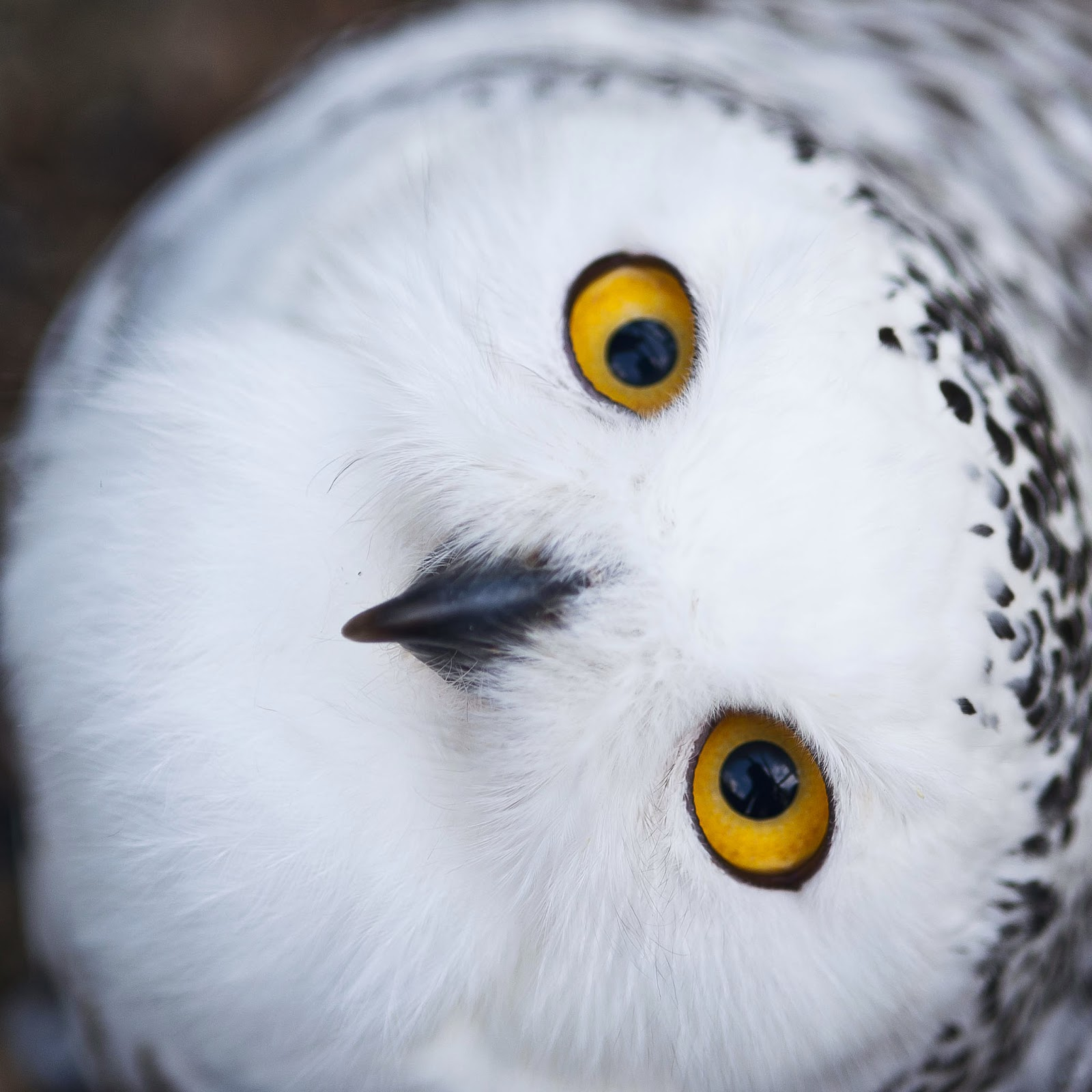 Snowy Owls Make One of Largest Observed Migrations to ...