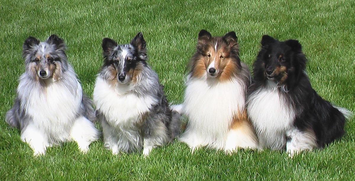 Shetland Sheepdog - Breed Profile | Australian Dog Lover