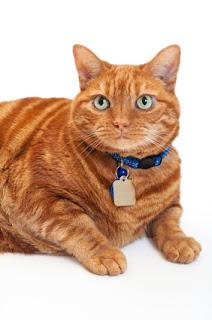Obese Orange Cat
