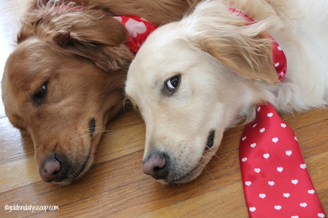 golden retriever dogs valentines day #wordlesswednesday
