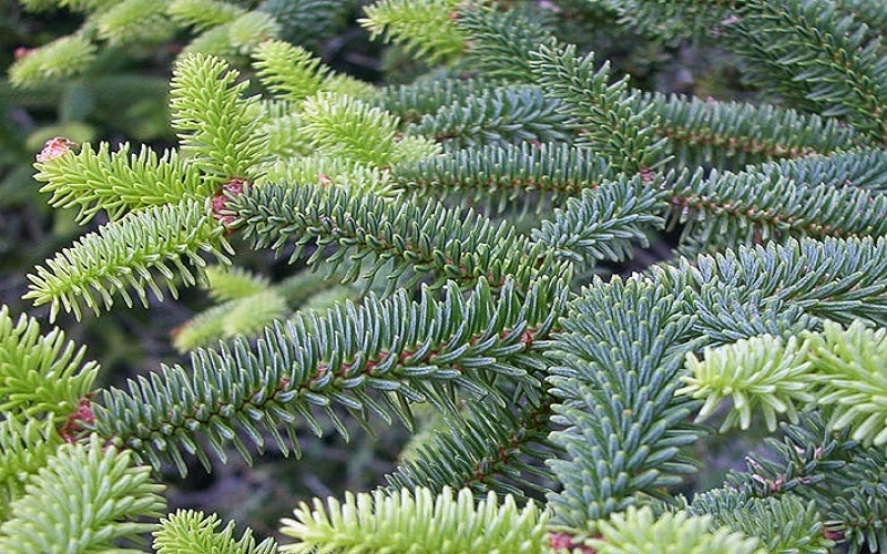 Abies es un género de árboles de la familia de las pináceas, dentro de las coníferas. El género comprende 55 especies conocidas como abetos, de las cuales pueden considerarse como primarias y las 22 restantes como secundarias o tal vez subespecies de las anteriores.