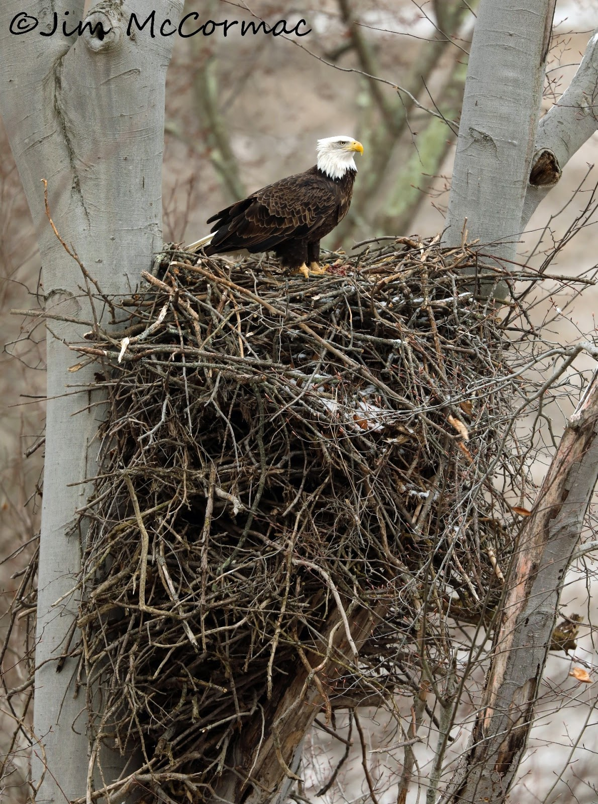 Ohio Birds And Biodiversity An Ever Growing Eagle Aerie