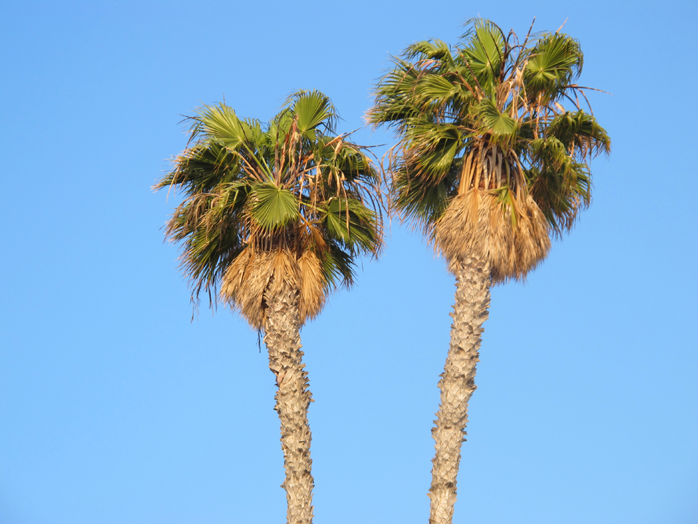 Palm trees in LA - Los Angeles, California - travel blogger