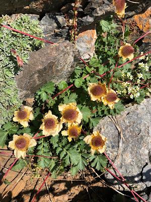 [Rosaceae] Geum reptans – Creeping Avens (Cariofillata strisciante)