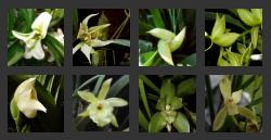Catasetum Orchid Flower