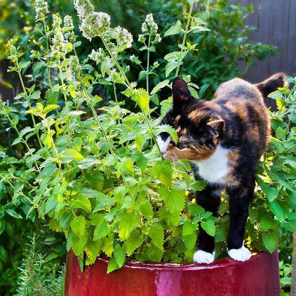 Daun Dan Akar Catnip Tanaman Kucing Kucingan Lalapan Idola Para Kucing Dunia Kucing