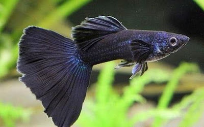 Ikan Guppy Black Moscow