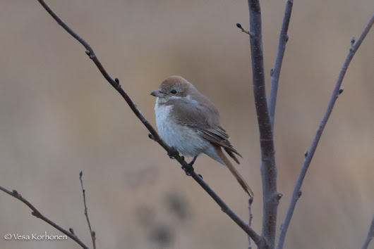 Shrike! And a lifer! But what is the species?