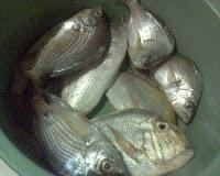 Foto de um cardume de peixes pescados