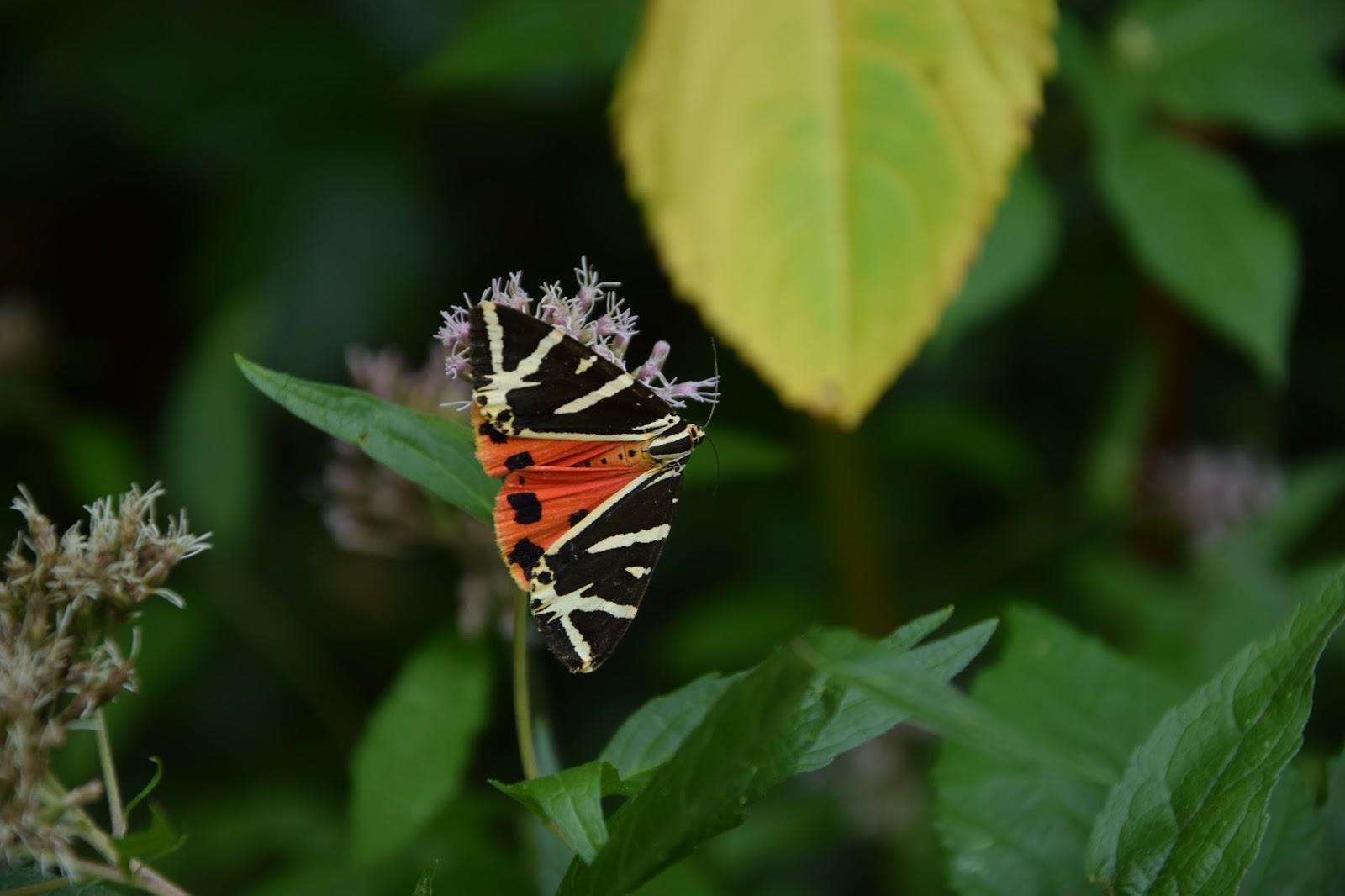 Belgia Ardeny motyl