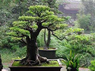 cara-menanam-bakalan-bonsai.jpg