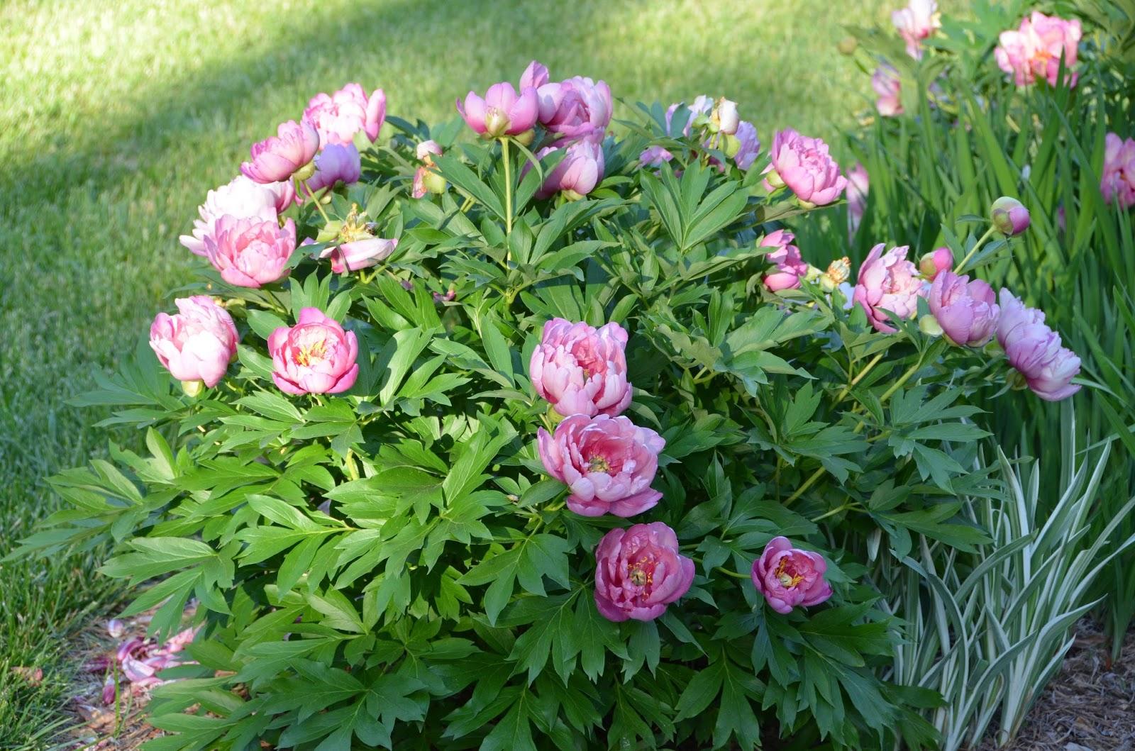 Southern Peony 2015 Peony Companion Plants Japanese Iris