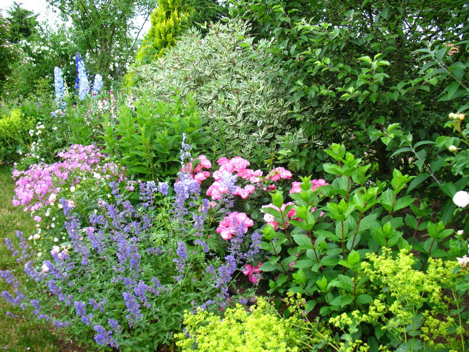 roses du jardin ch neland la fleur du jour un phlox patant. Black Bedroom Furniture Sets. Home Design Ideas