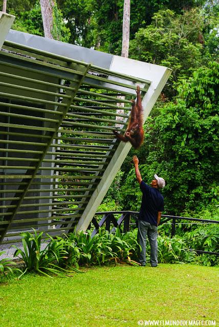 ver-orangutanes-en-borneo-sepilok-el-escapista
