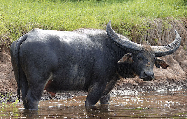 Water buffalo genome unveiled