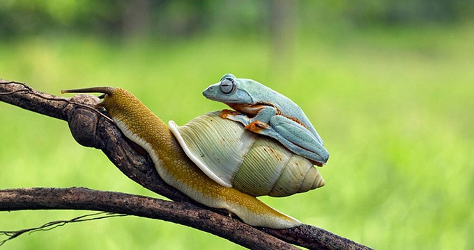 Frog Takes A Ride On the rear Of A Snail
