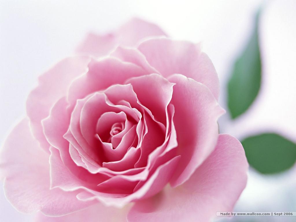 Yeni Çiçek Gül Resimleri, Masaüstü En Güzel Gül Resimleri