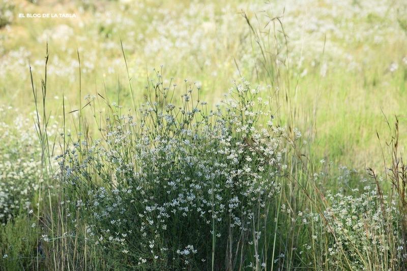 flores blancas de planta mediterránea