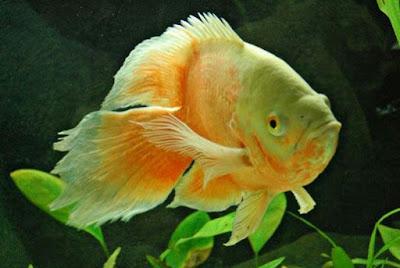 Harga Ikan Oscar Albino Slayer