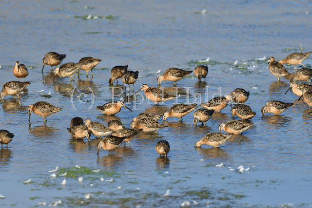 A Flock of Stilt Sandpiper