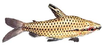 Peixe Quilodos (Chilodus punctatus)