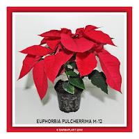 Poinsettia-Euphorbia-Pulcherrima-M12-2018
