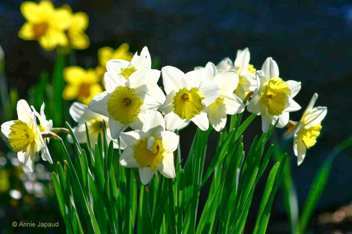 daffodils in the sunshine