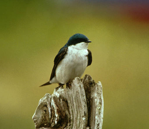 Tree Swallow Facts 83