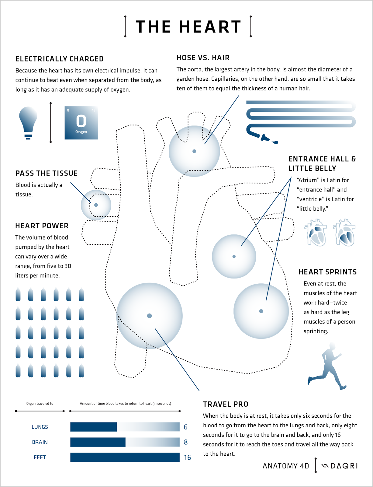 pdf anatomy of shark heart