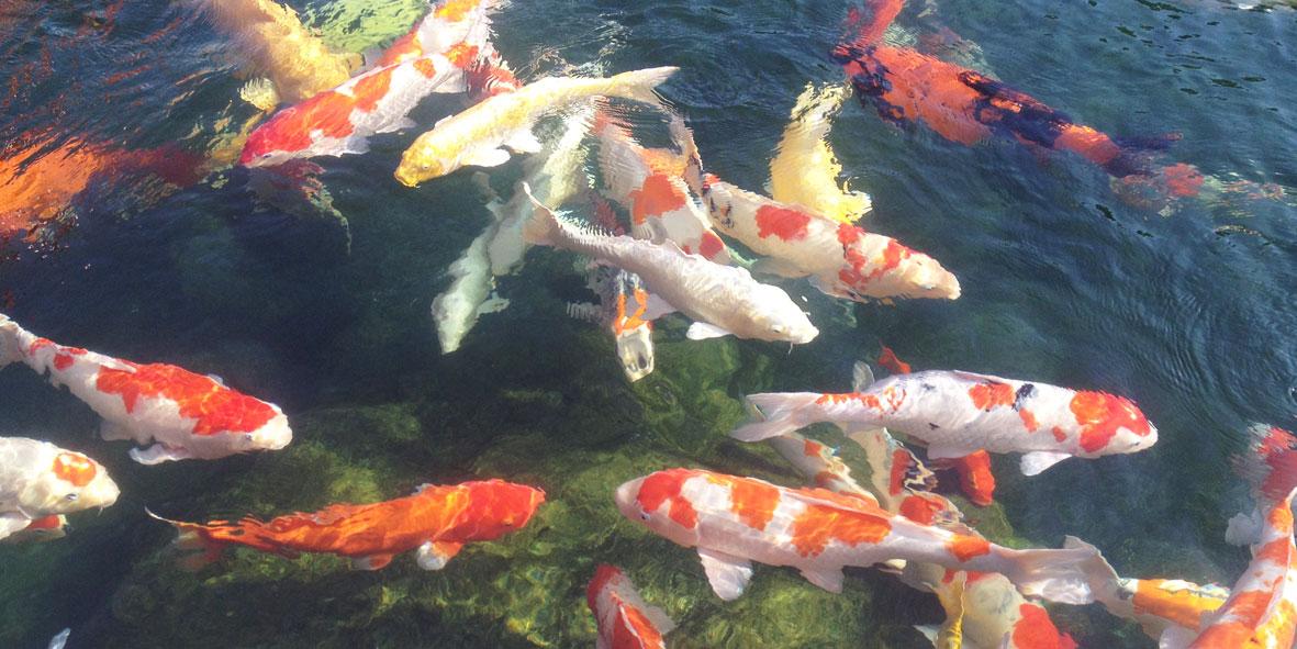 Tham quan Công Viên Cá Koi Rin Rin Park tại - Vườn Nhật Bản cực đ0ã