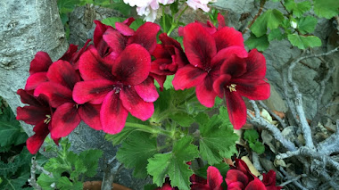 Pelargonium x domesticum (Grandiflorum, Regal)