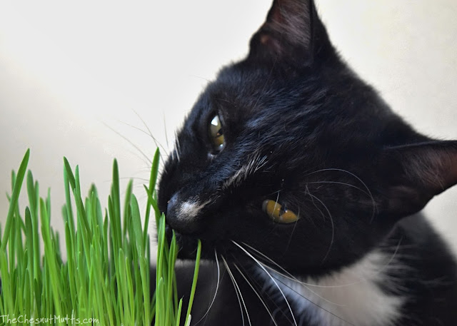 Mr. Kitty eating Oat Grass for Cats from YPCK City Kitty Garden