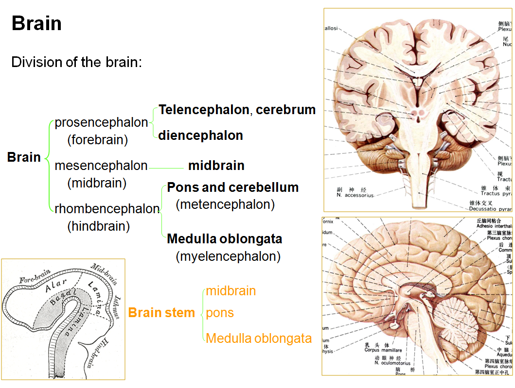 brain diagram pons 240 volt plug wiring australia mbbs medicine humanity first anatomy of the stem