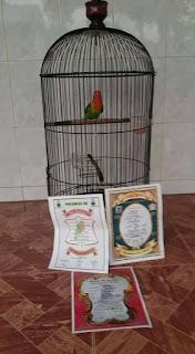 Ciri Anakan Lovebird Prospek Lomba Yang Bisa Ngekek Panjang