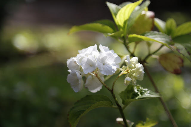 White Hydrangea Flower in Sunshine