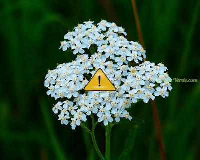 Contraindicações da Mil-folhas