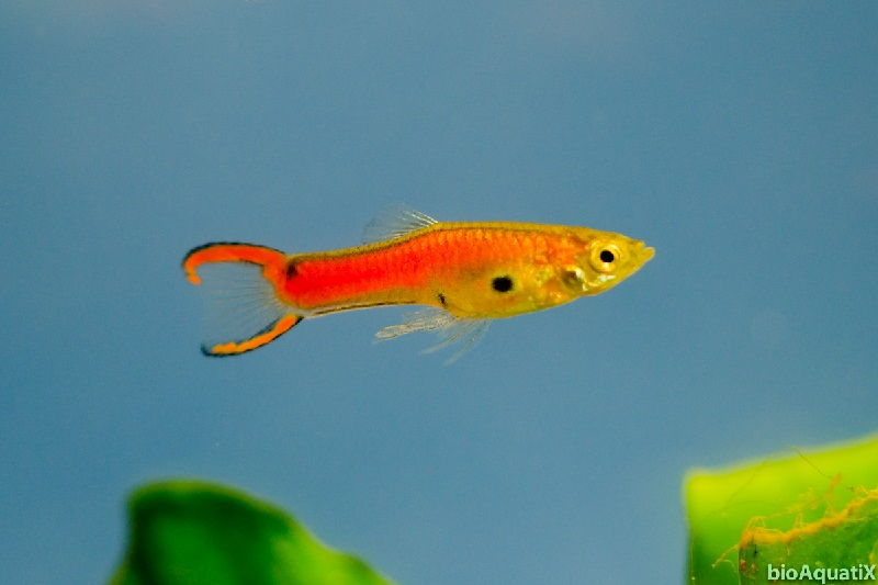 Gambar Endler's Livebearer - Teman Ikan Guppy