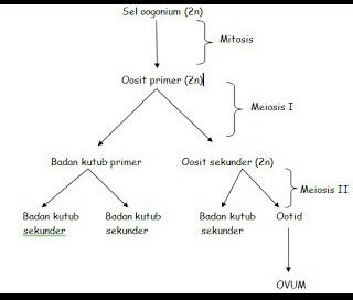 Perbedaan antara spermatogenesis dan oogenesis health and sains oogenesis adalah proses pembentukan dan perkembangan sel ovum atau sel telur ccuart Choice Image