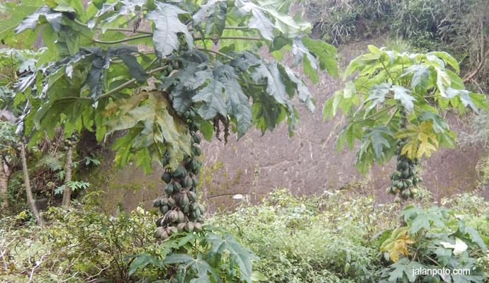 Pohon buah Carica khas Dieng