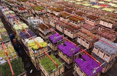 фото- цветов-голландии