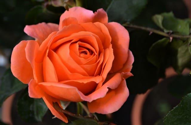 bunga mawar talitha
