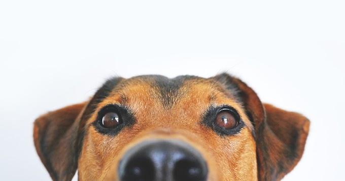 Curso de comprensión emocional para entender a los perros