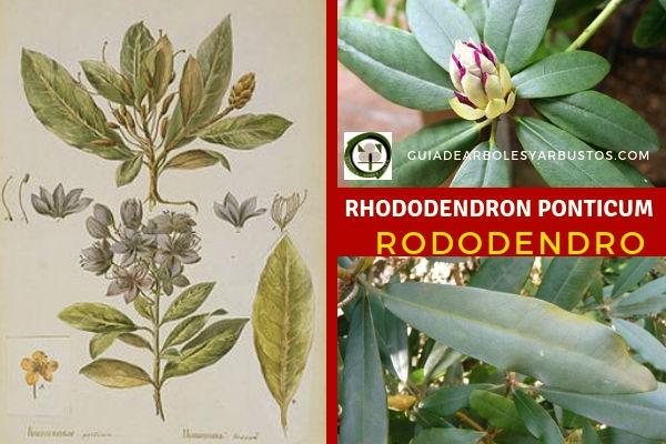 Rhododendron ponticum, rododendro se trata de un árbol amante de los suelos ácidos