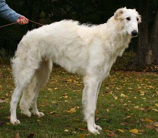 Borzoi-pets-dog-dog breeds