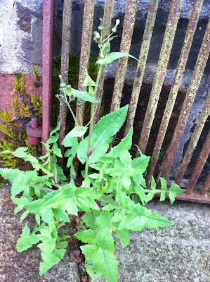 Smooth sow thistle (S. oleraceus) growing in a crack in the pavement