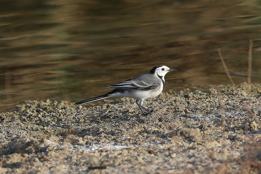 First winter White Wagtails – Jubail