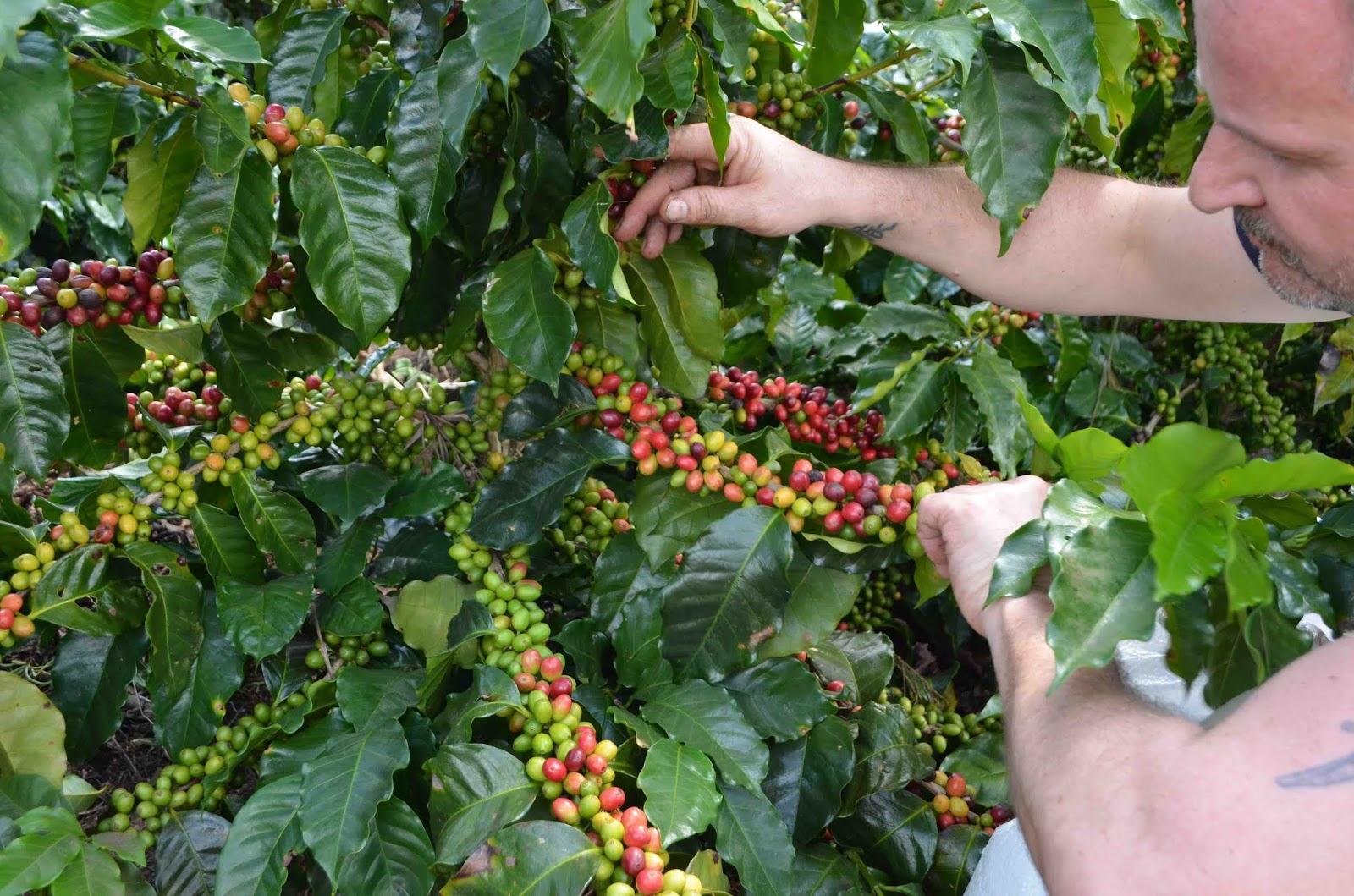 Immagini Di Piante E Alberi andrej godina caffesperto: la pianta del caffè. potatura e
