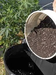 plantando cannabis e o tipo de solo