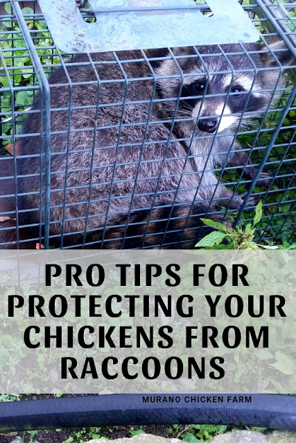 Protect chickens from raccons with these easy steps