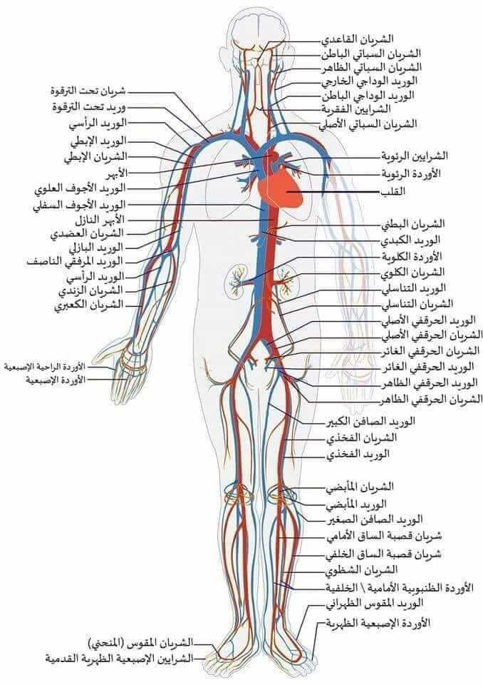 اسماء الاوردة والشرايين في جسم الانسان